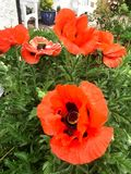 Red Poppies in a Gloucester garden. Poppies in a Gloucester garden 2017 Royalty Free Stock Photo
