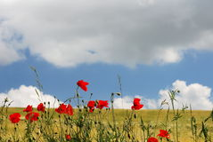 Red poppies and golden field Royalty Free Stock Photography