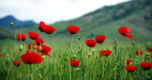 Red poppies in the grass. Background with red poppies in the grass Stock Photo