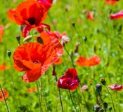 Red poppies on grass green background Royalty Free Stock Photo
