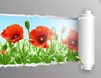 Red poppies in grass with ripped paper ., vector Royalty Free Stock Images
