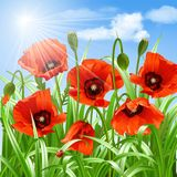 Red poppies in grass., vector Stock Photography