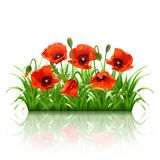 Red poppies in grass., vector Stock Photos