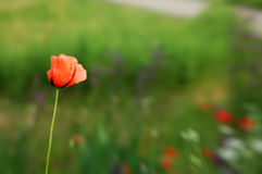 Red poppies on green royalty free stock image