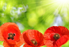 Red poppies. On green background Stock Photos