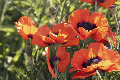 Red poppies. On green background Royalty Free Stock Images