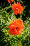 Red Poppies on green background royalty free stock photo