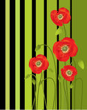 Red poppies. Green and black background Royalty Free Stock Image