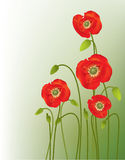 Red poppies. Green and black background Stock Photos