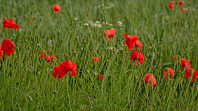 Red poppies in a green wheat field in flanders  Papaveraceae Stock Photo