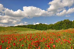 Red poppies on a green field stock photo