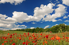 Red poppies on the green field Royalty Free Stock Photography