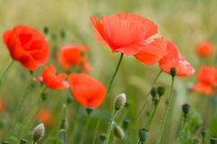 Red poppies in green field Stock Image