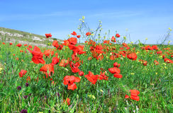 Red poppies on the green field Stock Photography