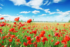 Red poppies. On green field Royalty Free Stock Photo