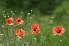 Red poppies in the green field. Poppies in the green field stock image