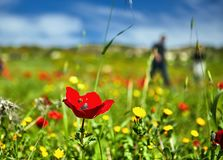 Red poppies on a green field. Against a blue sky stock photos