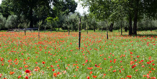 Red poppies on green field Stock Images
