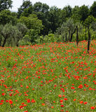 Red poppies on green field Stock Photography