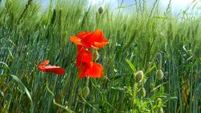 Red poppies on green field. Beautiful blumen in sonny day Stock Photo
