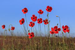 Red poppies on green field Stock Photos