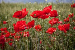 Red poppies on green field Royalty Free Stock Photo