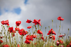 Red poppies on green field Royalty Free Stock Photography