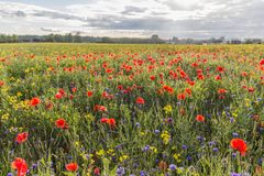 Red poppies on the green field. Poppies Papaver dubium and cornflowers Centaurea cyanus field on the sunny summer day Stock Photography