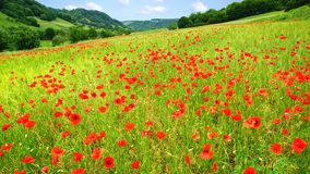 Red poppies on green field Royalty Free Stock Image