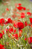 Red poppies in a green field. Some red poppies between green grass, vertical ratio with focused foreground and blurred background Stock Images