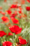 Red poppies in a green field Royalty Free Stock Image