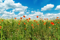 Red poppies in green field under sky with clouds Stock Photos