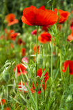 Red poppies. In green grass Stock Images