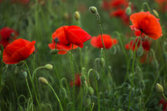 Red poppies in green grass blooming on field. Close-up Stock Photos