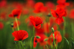Red poppies in green grass blooming on field. Close-up Royalty Free Stock Photo