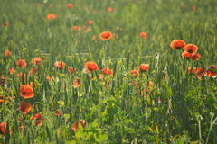 Red poppies in green grass Royalty Free Stock Photo