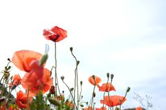 Red poppies with green leaves. Rote schöne Blumen royalty free stock photo