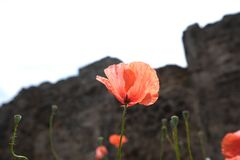 Red poppies with green leaves. Rote schöne Blumen stock photos
