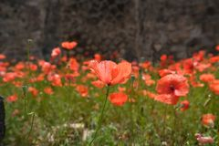 Red poppies with green leaves. Rote schöne Blumen royalty free stock images