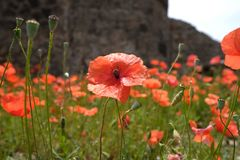 Red poppies with green leaves. Rote schöne Blumen royalty free stock photos