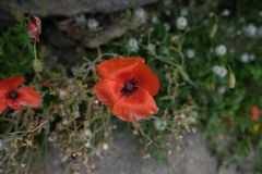 Red poppies with green leaves. Rote schöne Blumen royalty free stock image