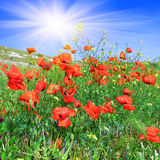 Red poppies on the green meadow Stock Images