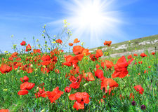 Red poppies on a green meadow Royalty Free Stock Photography