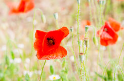 Red poppies on a green meadow. Russian nature - red poppies on a green meadow Royalty Free Stock Photo