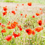 Red poppies on a green meadow. Russian nature - red poppies on a green meadow Stock Images
