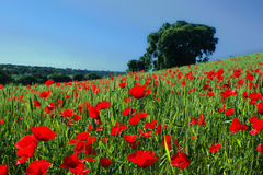 Red poppies on green spring meadow with oak tree in the background Royalty Free Stock Photo