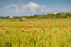Red poppies on green wheat field. Under blue sky in a windy day Royalty Free Stock Photos