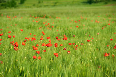 Red poppies on green wheat field. In a windy day. Shallow DOF Stock Images
