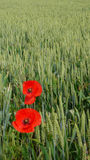 Red poppies in a green wheat field Stock Photos