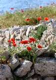 Red poppies grow on a stone. 14.07.2013. Ukraine. Crimea. Red poppies grow on a stone. Bright poppies against the background of the sea stock photos